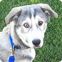 Adopt A Pet :: Blue - Las Vegas, NV