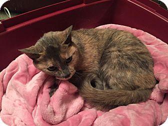 Domestic Shorthair Cat for adoption in Warren, Michigan - Acacia