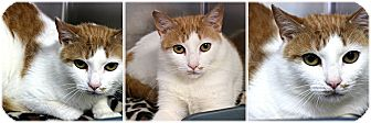 Domestic Shorthair Cat for adoption in Forked River, New Jersey - Ginger