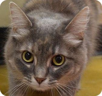 Manx Kitten for adoption in Hillside, Illinois - Luna-MANX BEAUTY- NO TAIL