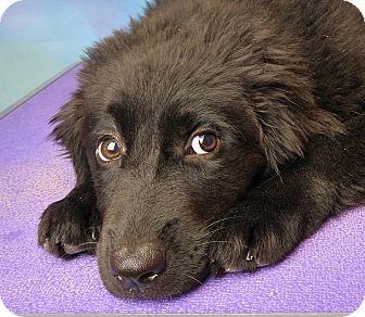 Newfoundland/Australian Shepherd Mix Puppy for adoption in Denver, Colorado - Betsy