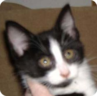 Domestic Mediumhair Kitten for adoption in Garland, Texas - Daisy