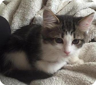 Domestic Mediumhair Kitten for adoption in Vacaville, California - Purrito
