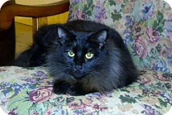 Domestic Longhair Cat for adoption in Vacaville, California - Gracie