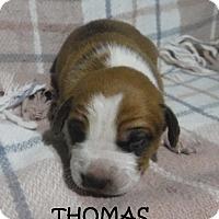 Adopt A Pet :: Thomas - Batesville, AR