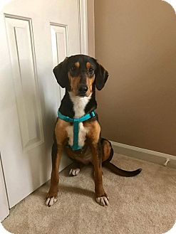 Plott Hound/Hound (Unknown Type) Mix Dog for adoption in Staunton, Virginia - Michele