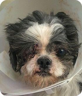 Shih Tzu Dog for adoption in Oak Ridge, New Jersey - Maurice