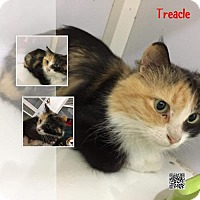 Adopt A Pet :: Treacle Calico TA - Woodland Park, NJ