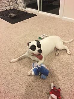 Boxer/Hound (Unknown Type) Mix Dog for adoption in Bristow, Virginia - Apollo