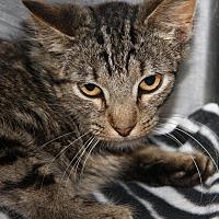 Adopt A Pet :: Boris (Neutered/Combo'd) - Marietta, OH