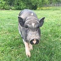 Adopt A Pet :: Ziggy - Fairport, NY