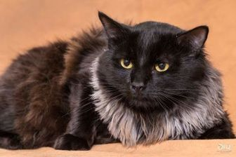 Domestic Longhair/Domestic Shorthair Mix Cat for adoption in Chesapeake, Virginia - Kingsley