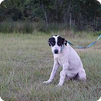 Adopt A Pet :: Scout - Oviedo, FL