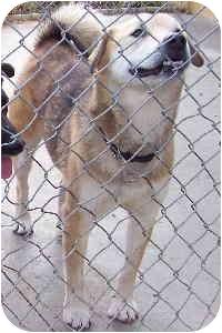 Husky/Labrador Retriever Mix Dog for adoption in Columbus, Ohio - COBY
