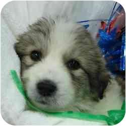 St. Bernard/Collie Mix Puppy for adoption in Brenham, Texas - Isabelle