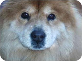 Chow Chow Dog for adoption in Sacramento, California - Brandy