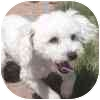 Poodle (Miniature) Mix Dog for adoption in Eagle, Colorado - Peter