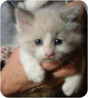 Ragdoll Kitten for adoption in Dallas, Texas - Muffin