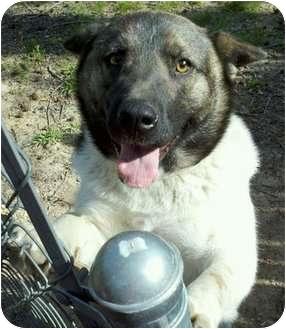 Akita Dog for adoption in Haughton, Louisiana - Lucky