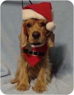 Cocker Spaniel Dog for adoption in Sugarland, Texas - Arthur Christmas