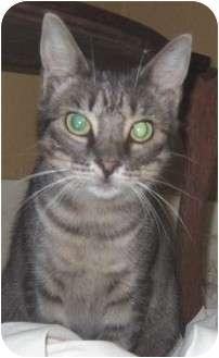 Domestic Shorthair Cat for adoption in Schertz, Texas - Terry