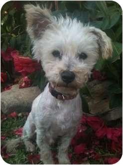 Poodle (Miniature) Mix Dog for adoption in Long Beach, California - LEO