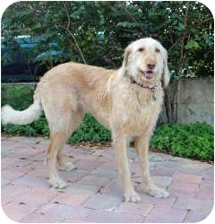 Labradoodle Mix Dog for adoption in Melbourne, Florida - RUBY TUESDAY