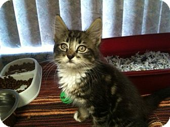 Maine Coon Kitten for adoption in North Fort Myers, Florida - Tice Fire Kitten