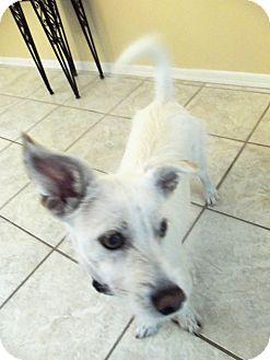 Cairn Terrier Mix Dog for adoption in Phoenix, Arizona - Ralphie