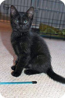 Domestic Shorthair Kitten for adoption in Homewood, Alabama - Marceline aka Marcie