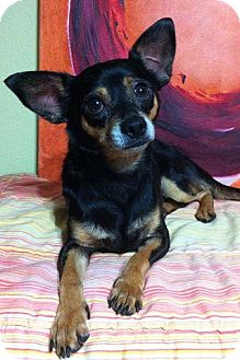 Chihuahua/Miniature Pinscher Mix Dog for adoption in Davie, Florida - Skittles