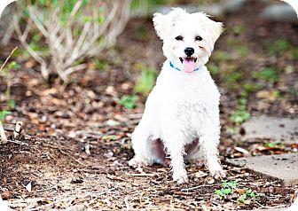 Schnauzer (Miniature)/Poodle (Miniature) Mix Dog for adoption in Houston, Texas - Madeline