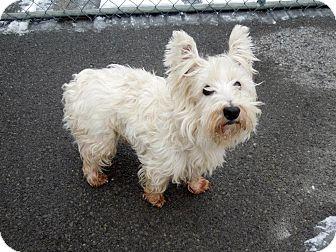Westie, West Highland White Terrier Mix Dog for adoption in Monterey, Virginia - Nickolas