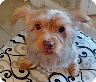 Yorkie, Yorkshire Terrier Mix Dog for adoption in Dallas, Texas - Moreland