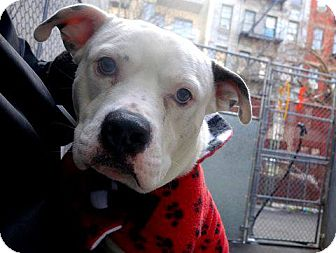 American Bulldog Mix Dog for adoption in Ridgewood, New Jersey - NICO