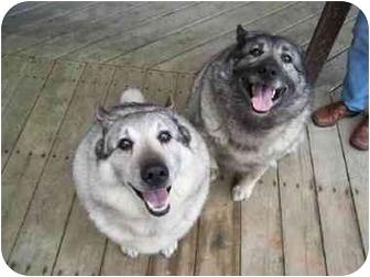 Norwegian Elkhound Dog for adoption in Belleville, Michigan - Moose & Sage
