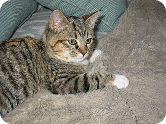 Calico Kitten for adoption in Smithfield, North Carolina - Lady Sophia