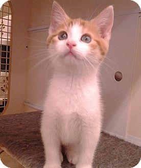 Domestic Shorthair Kitten for adoption in Richmond, Virginia - Sassy