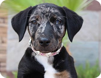 Catahoula Leopard Dog Mix Puppy for adoption in Las Vegas, Nevada - BAM BAM