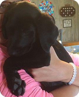 Labrador Retriever Mix Puppy for adoption in Homer, New York - Tayla