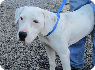 Bull Terrier/Labrador Retriever Mix Dog for adoption in Marble, North Carolina - Candy Cane