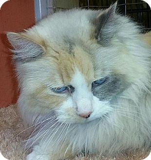 Maine Coon Cat for adoption in Hillside, Illinois - Sparkle-BLUE-EYED MAINE COON