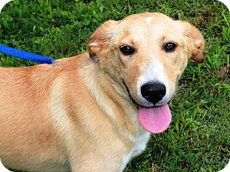 Golden Retriever/Shepherd (Unknown Type) Mix Dog for adoption in Goodlettsville, Tennessee - Blondie