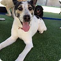 Shepherd (Unknown Type) Mix Dog for adoption in Dallas, Texas - Kosmo