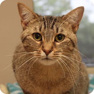 Domestic Shorthair Cat for adoption in Naperville, Illinois - Honeybun