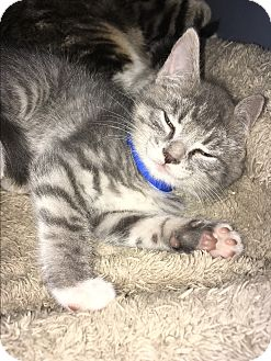 American Shorthair Kitten for adoption in San Jose, California - Stella