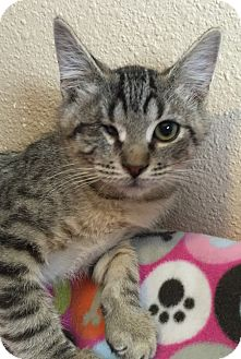 Domestic Shorthair Cat for adoption in Meridian, Idaho - Cy