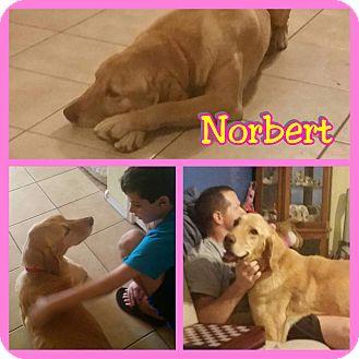 Labrador Retriever Mix Dog for adoption in Mesa, Arizona - Narbert