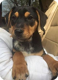 Feist/Beagle Mix Puppy for adoption in Rexford, New York - Jax