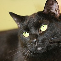 Domestic Shorthair Cat for adoption in Canoga Park, California - Odessa